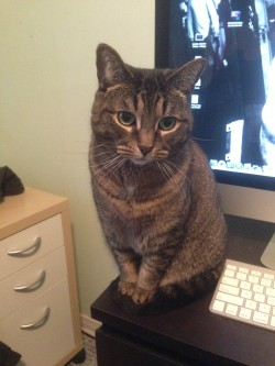Moxie, helping me work.  She's the lesser known pet (because she's mean), but you wouldn't guess it from this picture.